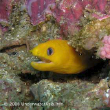 Golden Moray